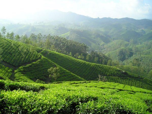 Darjeeling Estate Tea 1